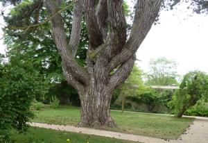 Il Pinus nigra amato da Tolkien com'è oggi