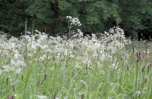23. Roos Cow Parsley